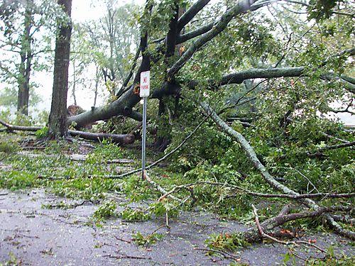 large tree blown down